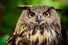 Owl (Patrick Foto ;)) Tags: animal background bird black brown bubo close closeup eagle evil eye eyes face feather halloween head hunter look natural nature night owl portrait predator prey raptor up watching wild wilderness wildlife