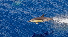 Short-beaked Common Dolphin (Delphinus delphis) (mosesharold) Tags: 1y3a62621 dolphins newzealand tasmansea