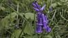 Tiegemberg_6 (hugomaes1) Tags: hyacinth hyacinthus hyacint tiegembos tiegemberg flowers