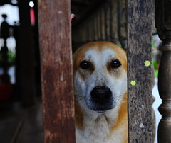 ,, Pumpkin ,, (Jon in Thailand) Tags: pumpkin jungle dog k9 nikon d300 nikkor 175528 eyes nose littledoglaughedstories