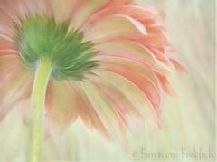 Pastel Prettiness (KvonK) Tags: gerbera gerberadaisy flower painterly partof backside topazimpressions texture kvonk april 2017 macro