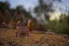 contact.. (Rob Valentic - Gondwana Reptile Productions) Tags: starredknobtailedgecko nocturnal nephrurus nephrurusstellatus cedunareptiles aridaustralianreptiles burrowing coastallimestone coastalsanddunes coast sandandsky sandplain sanddune saline geckobokeh geckonidae bokehrob robvalentic canoneos5dmark3 otherworldly dreamybokehlizard spectacularaustraliangecko spectacularaustralianlizards m42bokeh m42adaptereos 9mmextensiontubem42 iconicaustralianlandscape beachlizards southaustralianreptiles southaustralianlizards uppereyrepeninsula 3545primagon shootwideopen goldenhourbokeh oldlensnewcamera oldmeetsnew manuallens germanglass meyeroptikgorlitzprimagonwideangle retromeyer primagonat45 redv m42meyeroptikgorlitzredv35mmprimagon vintagelens bokehofvintageprimes contact concepts desertgecko