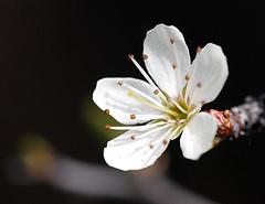 Vive le printemps (JMVerco) Tags: printemps spring primavera fleur flower fiore coth coth5 flickrchallengegroup