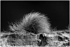 Oyats au vent ! (Patevy Damant) Tags: aquitaine bw extérieur jour médoc monochrome nb nikon paysage planmoyen plante