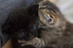 He's trying to strangle me ! Help (Anyore) Tags: cat chat kitten chaton noir black brothers frères chatons cute 50mm stm 18 f18 canon700d canon eos