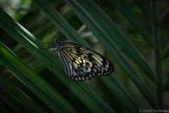 Leuconoe Rice Paper- (diane.bordeleau) Tags: papillon butterfly nature natural orange fields color colorful coloré light lumière flowers flower flore
