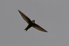 Horus Swift, Bornmansdrift, Clocolan, Freestate, Dec 2017 (roelofvdb) Tags: 2016 416 clocolan date december dwesa16 horusswift place southernafricanbirds swift swifthorus year