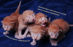 Five little kittens (youtube.com/utahactor) Tags: newborn kittens ginger cute tail cats