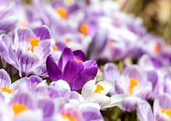Crocuses (Karen_Chappell) Tags: flower macro floral crocus purple white dof nature spring april canonef100mmf28usmmacro stjohns newfoundland nfld canada atlanticcanada avalonpeninsula