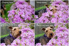 Photobombing dawg (Angela Freeman) Tags: dog animals airedale airedaleterrier azalea flowers spring pentaxk5 pentax50mm photobomb photostory