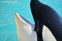 Inouk ♥ (GALINETTE1208) Tags: marineland antibes shamu seaworld inouk moana keijo wikie orques orque orca killer whales nikon d5200 explore mouth black white cetace cetacean dolphins big mld 2017 avril