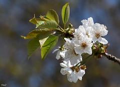 Feuilles et fleurs !! (thierrymazel) Tags: fleurs flowers printemps spring nature jardin bokeh profondeur de champ pdc