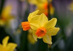 Daffodils (careth@2012) Tags: