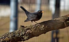 Common blackbird / Mustarastas #8 (L.Lahtinen (nature photography)) Tags: commonblackbird mustarastas spring finland nature birdlife wildlife lintu nikond3200 nikkor55300mm flickr 100lintulajia naturephotography nikkor blackbird
