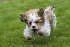 Spring in his step (Explore 15/4/17) (Jenny dot com) Tags: puppy running fluffy outdoor action