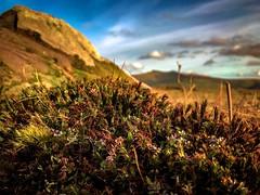 Flora on the Beacons (Rae de Galles) Tags: nationalpark nature mountains closeup iphone plants colour vibrant goldenhour evening cornddu penyfan heather flora beacons brecon breconbeacons