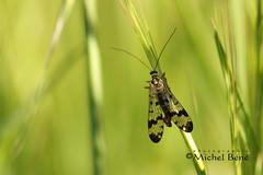 soliste (studio gimi) Tags: papillon butterfly insecte nature natur macro planrapproché grosplan flou depthoffield sigma105mm extérieur outdoor marais
