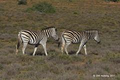 Burchell's Zebra 121232gb (Dirk Huitzing) Tags: burchellszebra equusburchelli
