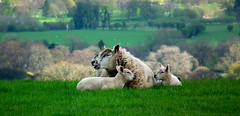 Happy Family (sapko1961) Tags: sheep ewe lambs grass