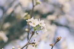 Blooming (Jenny Hoo) Tags: blooming sakura cherryblossom canon colorful nature spring 春天 樱花 花 植物