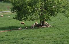 Natural shelter (baalands) Tags: katahdin hair sheep ewes lambs grazing green grass pasture spring tree shelter farm natural