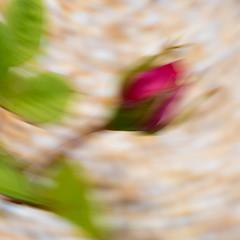 Macro Mondays Intentional Camera Blur - Miniature Rose (Stephen Sarhad) Tags: macromondays intentionalblur miniaturerose sanrafael marin marincounty icm intentionalcameramovement ca usa