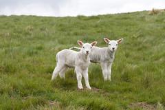 Shutlingsloe walk #7 (Don McDougall) Tags: don mcdougalldonmcdougallshutlingsloecheshire matterhorn cheshire walk wlaking walks england trek trekking lamb lambs sheep fauna animal animals farm farming