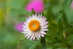 Strawflower - Helichrysum bracteatum (Changer4Ever) Tags: nikon d7200 nikkor flower plant life nature bokeh dof depthoffield macro blooming blossom color colorful season outdoor