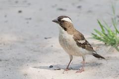 White Browed Sparrow Weaver - Plocepasser mahali (rosebudl1959) Tags: 2017 botswana centralkalaharigamereserve whitebrowedsparrowweaver