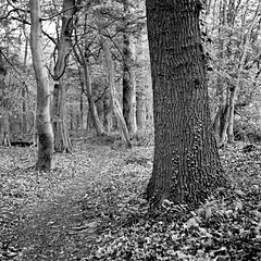 Mamiya068 (salparadise666) Tags: mamiya c330 sekor 80mm fuji neopan acros 100400 caffenol cl semistand 36min nils volkmer vintage camera tlr square 6x6 medium format nature landscape trail way path tree wood forest monochrome black white contrast view hannover region niedersachsen germany