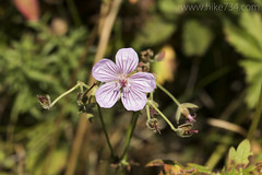 """Sticky Geranium • <a style=""""font-size:0.8em;"""" href=""""http://www.flickr.com/photos/63501323@N07/34190374662/"""" target=""""_blank"""">View on Flickr</a>"""