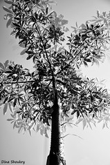 tree sidh (Dina Shoukry) Tags: india mumbai places blackwhite faces gunpati children school waki mcleodganj travel closeups nikon