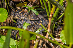 Baby Alligators (Bill Varney) Tags: baby alligator nest reptile animal wildlife grass reeds water outdoor green cay wetlands florida billvarney