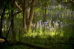 Bluebells, Broaks Wood (iamfisheye) Tags: camera greattotham kit olympus e3 sigma105mm