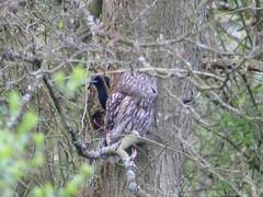 P1030388 - tawny owl and magpie (sbrad1977) Tags: tawnyowl magpie owl encounter peekaboo birds tree