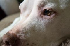 Bailey 1 (marissa elkind) Tags: dog whitedog americanpitbullterrier pitbull cute pet animal americanbullterrier pitbill dogface dogexpression dogeyes closeup petportrait animalportrait petphotography