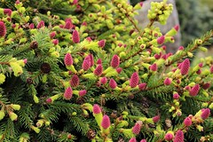 Just look at them beautiful pine cones ! (J.Dorota) Tags: pine cones pink green spring new growing jdorota jdorotaphotography focus garden walkersnurseries loveit photography canon700d weekend