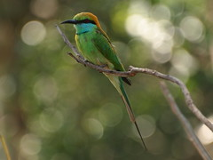 Pretty bird (jeff.dugmore) Tags: srilanka yalanationalpark bird green blue branch olympus wildlife nature outdoors outside rural trees plantation greenbeeeater safari jungle