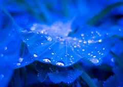 Blues and Bokeh (Katrina Wright) Tags: dsc06403 bokeh dewdrops raindrops rains macro dof blue sparkle glitter flower plant leaf