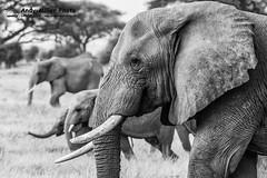 20160217-08-07-36_C018602 BW 2000px (ajm057) Tags: 8takenusing africa africanelephantloxodontaafricana africanbushelephantloxodontaafricana amboselinationalpark andymillerphotolondonuk blackwhitephotography elephantidaeelephants kenya loxodonta mammal nikond810 proboscideaelephants reservesparks wildlifephotography kajiado ke african elephant