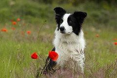 regard de Border Collie (MartineBNZ) Tags: chien rouge bordercollie coquelicot champtre