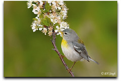 Northern Parula (BN Singh) Tags: new wild usa bird beach nature sandy jersey americana hook northern nra parula setophaga