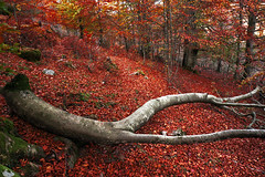 Fallen branch (Mimadeo) Tags: wood autumn red tree leaves forest dead branch floor decay branches dry ground fallen trunk amputation