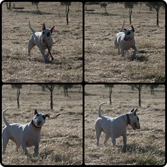 Game over (Malkav) Tags: madrid dog bull perro terrier hund gos pardo diptic dipticapp