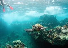 cool turtle fins (*michael sweet*) Tags: ocean life pink sea green coral hawaii marine underwater snorkel sweet turtle dive free diving maui monica tropical species shallow endangered reef fins makena makean