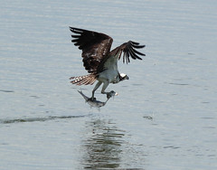 Fish Feet (uyht) Tags: nature birds fishing wildlife lakeland osprey circlebbar