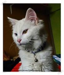 mi gorda rica que la extrao (Homayra Oyarce G.) Tags: gata mascota regalona gatoblanco gatitas
