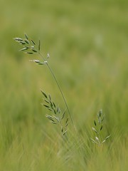 Juste un courant d'air **-*- ° (Titole) Tags: green grass barley herbe orge twothumbsup supercontest friendlychallenges thechallengefactory titole nicolefaton