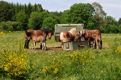 Chevaux Poulains (Laroche.gilbert) Tags: horse animal cheval campagne chevaux poulain abreuvage