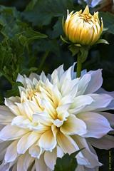 Torch Song (Cam Miller 2017) Tags: garden bulbs perennials whiteflowers summerflowers whitedahlia 50mmlens niftyfifty cammiller